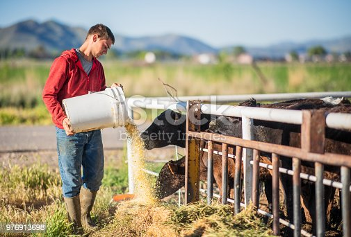 A young man adding feed from a bucket to hay for cows at a farm in Utah, USA.