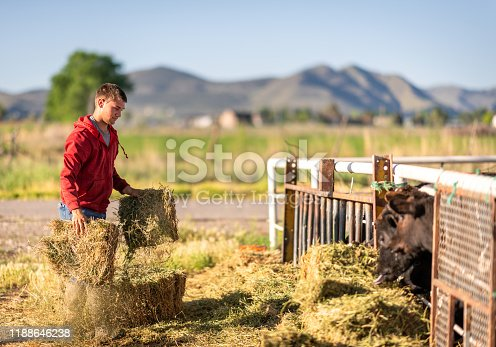 A man carrying hay to cows at their feeding time.