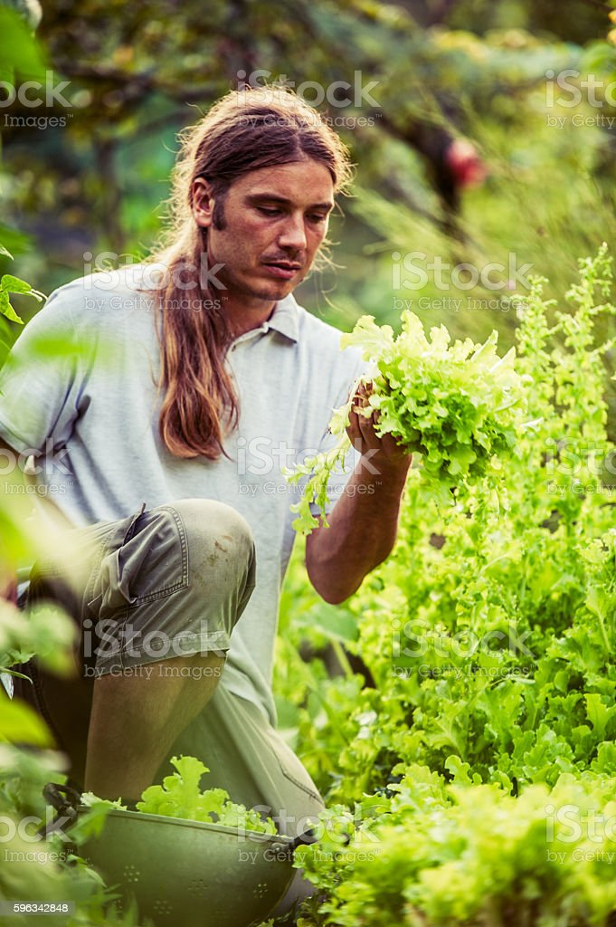 Young Farmer Harvesting Lettuce royalty-free stock photo