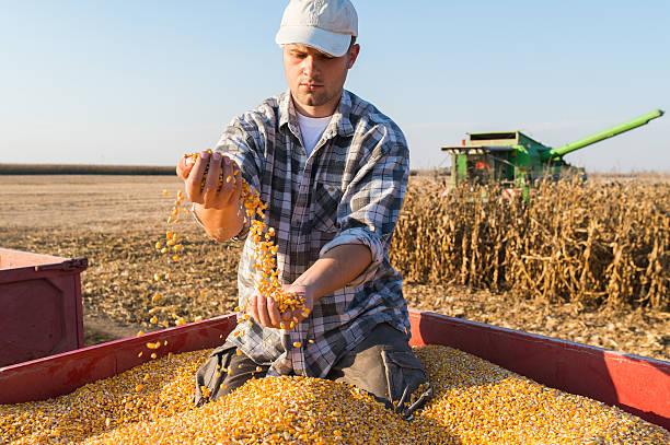 Young farmer holding ripe corns stock photo