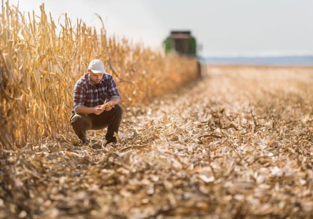 młody rolnik na polach kukurydzy - zbierać plony zdjęcia i obrazy z banku zdjęć