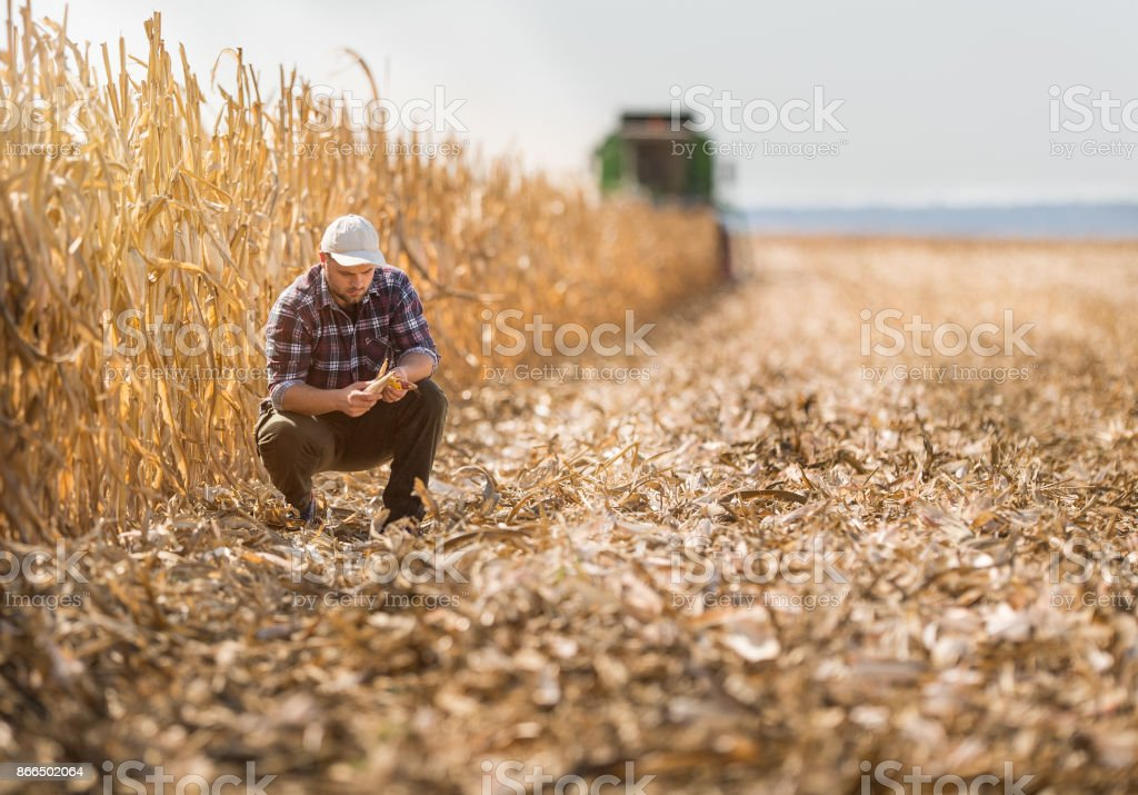Young farmer in corn fields stock photo