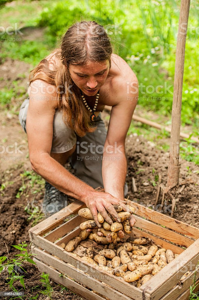 Young Farmer Picking Up Potatoe royalty-free stock photo