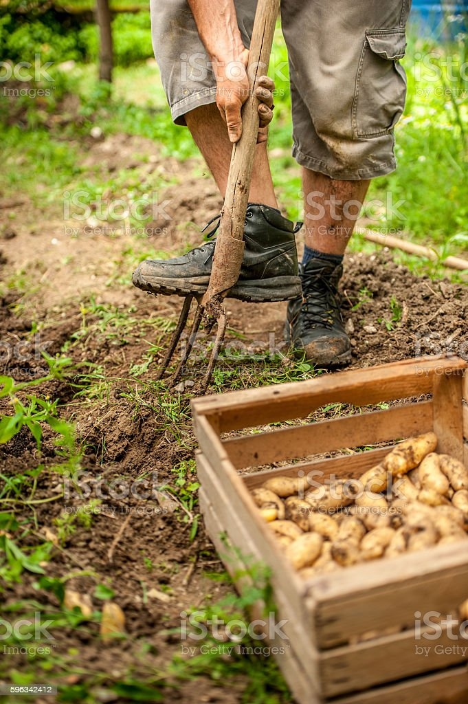 Young Farmer Picking Up Potatoe Lizenzfreies stock-foto