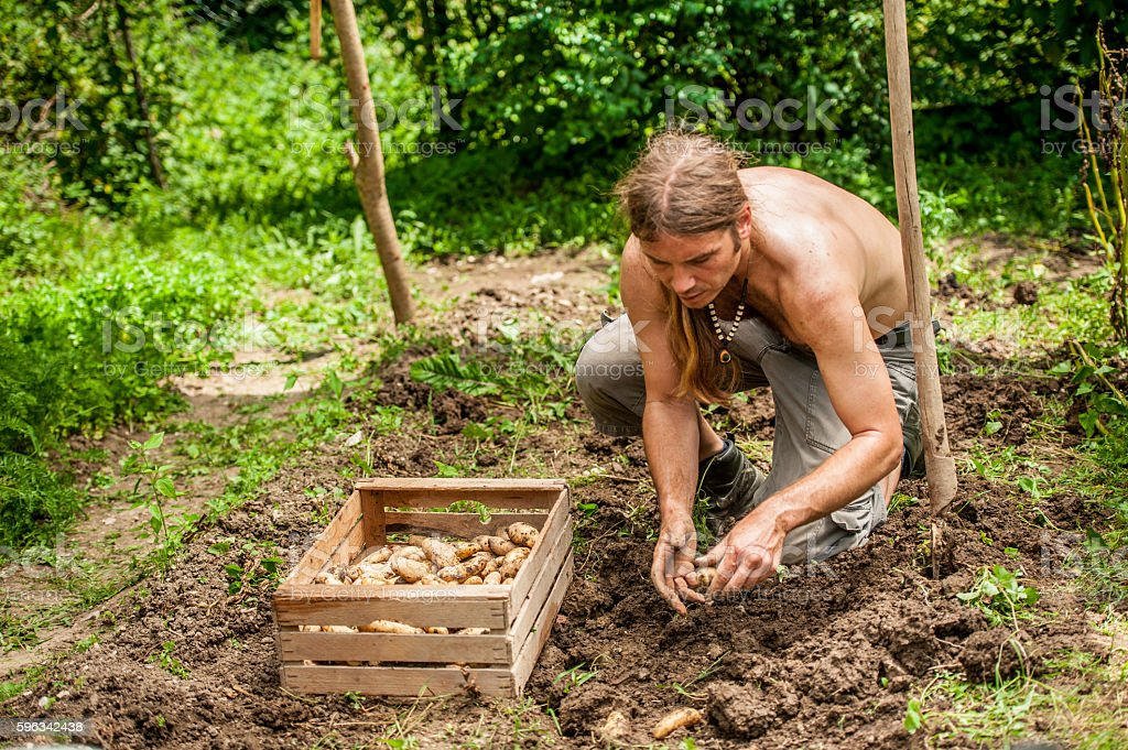 Young Farmer Picking Up Potatoe royalty-free stock photo