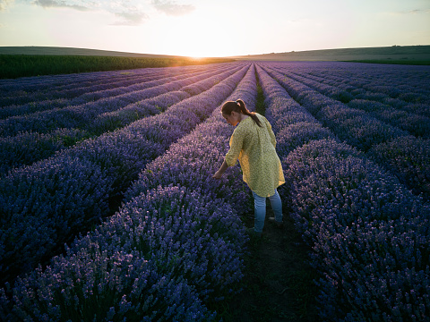 Farmer walking in a lavender farm at sunset.