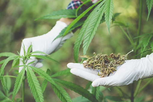 576744724 istock photo Young farmers check the quality of marijuana trees, Farmer growing hemp and checking plants growth, agriculture and environment concept 1128918162