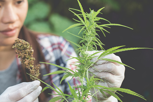 576744724 istock photo Young farmers check the quality of marijuana trees, Farmer growing hemp and checking plants growth, agriculture and environment concept 1132646380