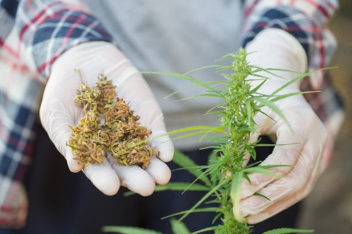 576744724 istock photo Young farmers wear gloves to check marijuana trees. Concept of herbal alternative medicine, 1128918192