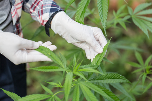 576744724 istock photo Young farmers wear gloves to check marijuana trees. Concept of herbal alternative medicine, 1132646369