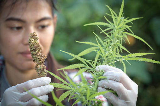 576744724 istock photo Young farmers wear gloves to check marijuana trees. Concept of herbal alternative medicine, 1134025234