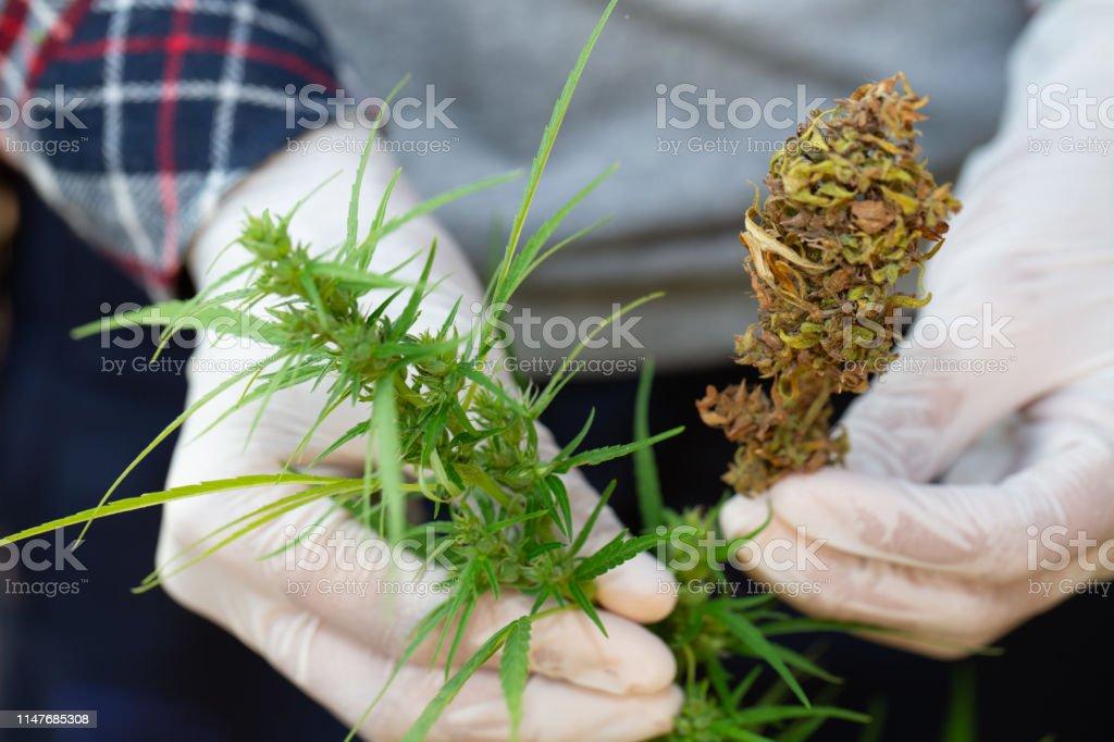 В чем носить марихуану метаболиты марихуаны