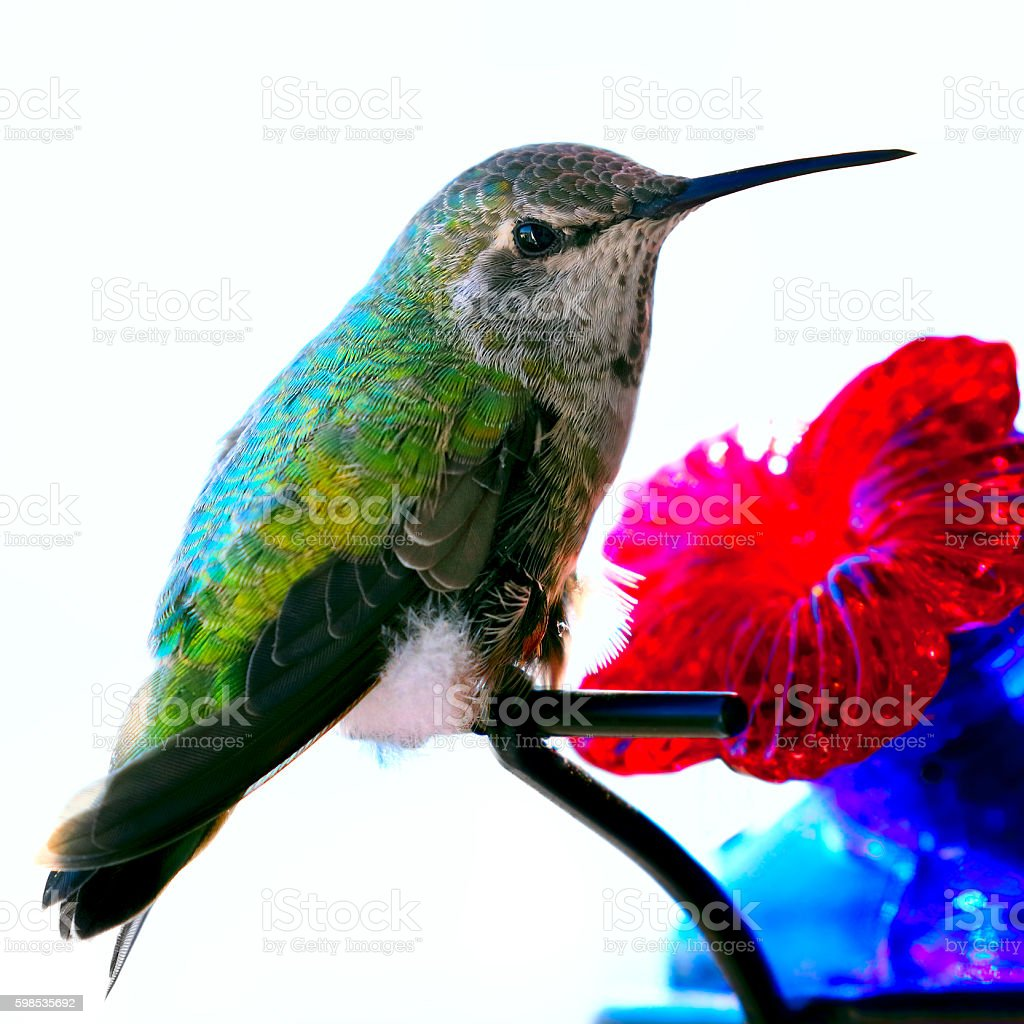 Young Female Anna's Hummingbird sitting on a glass feeder photo libre de droits