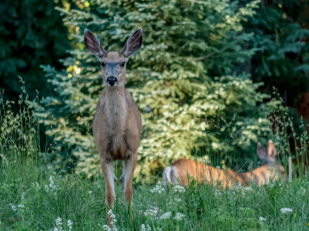Young Female Deer with Second Individual in background stock photo
