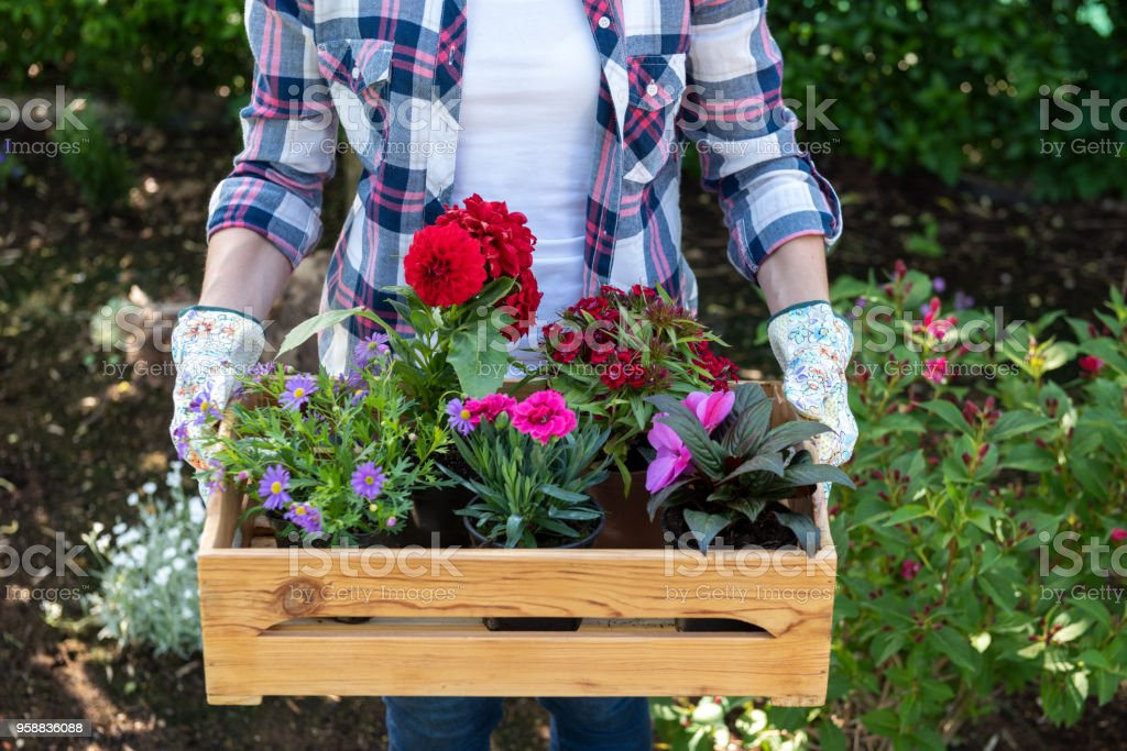 Young female gardener holding wooden crate full of flowers ready to be planted in a garden. Gardening hobby concept. royalty-free stock photo
