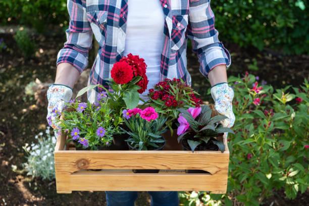 jovem jardineiro feminino segurando a caixa de madeira cheia de flores, prontas para ser plantada em um jardim. conceito de passatempo de jardinagem. - mulher flores - fotografias e filmes do acervo