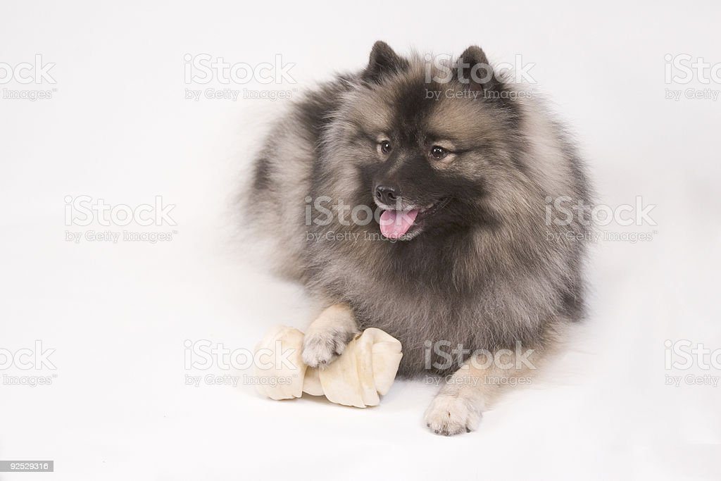Young female Keeshond stock photo