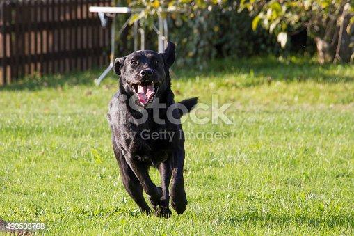 istock young female Labrador retriever running 493503768