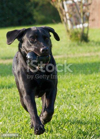 istock young female Labrador retriever running 493510924