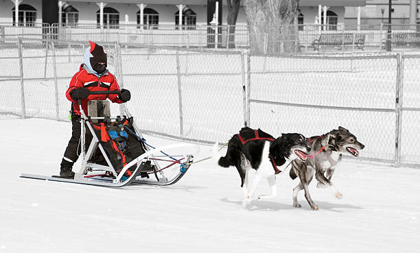Young Female Musher and Her Dog Team stock photo