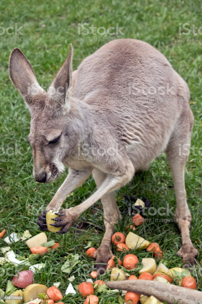 Young Female Red Kangaroo Stock Photo More Pictures Of Animal Istock
