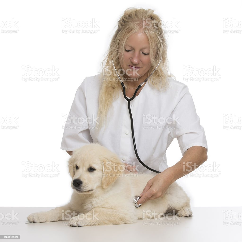 Young female veterinary caring of a cute beautiful Golden retriever royalty-free stock photo