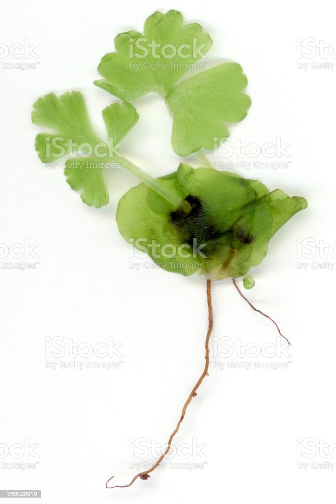 young fern growing from prothallium stock photo