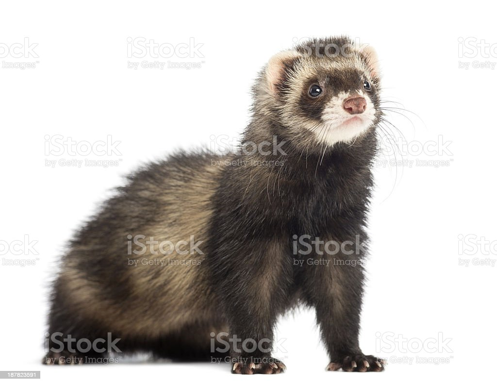 Young Ferret, isolated on white stock photo