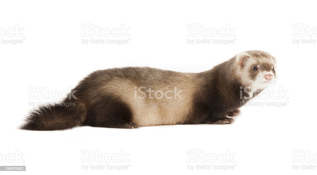 young ferret royalty-free stock photo