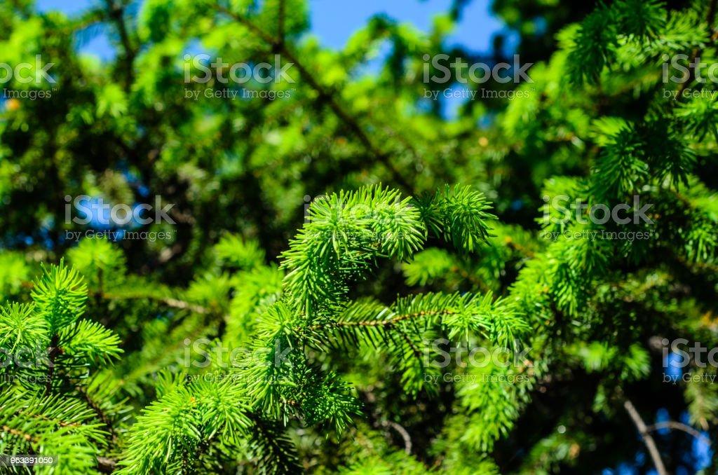 Young fir tree needles - Zbiór zdjęć royalty-free (Bez ludzi)