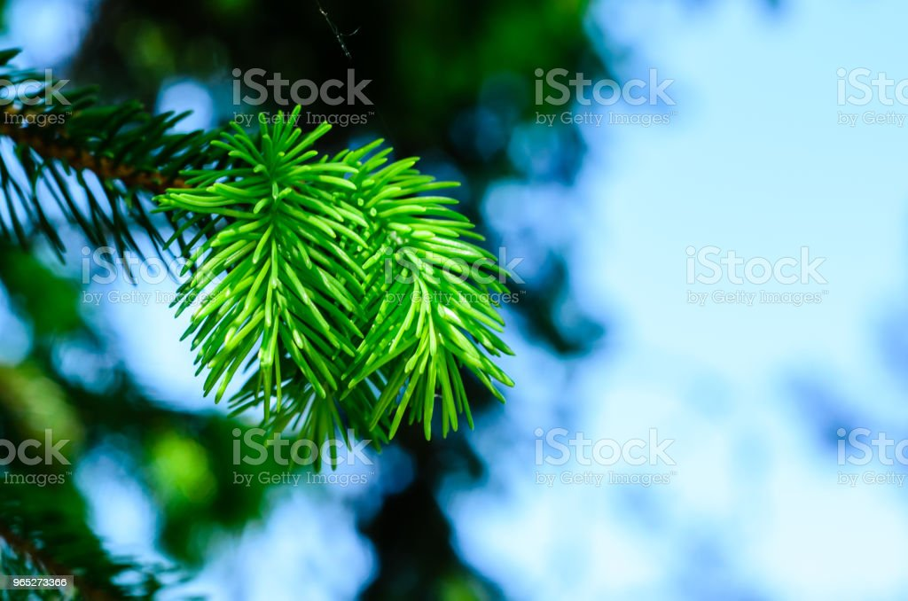 Young fir tree needles royalty-free stock photo