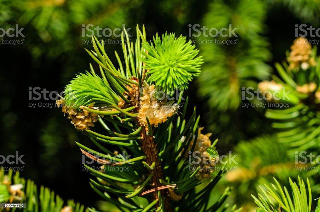 Young fir tree needles zbiór zdjęć royalty-free