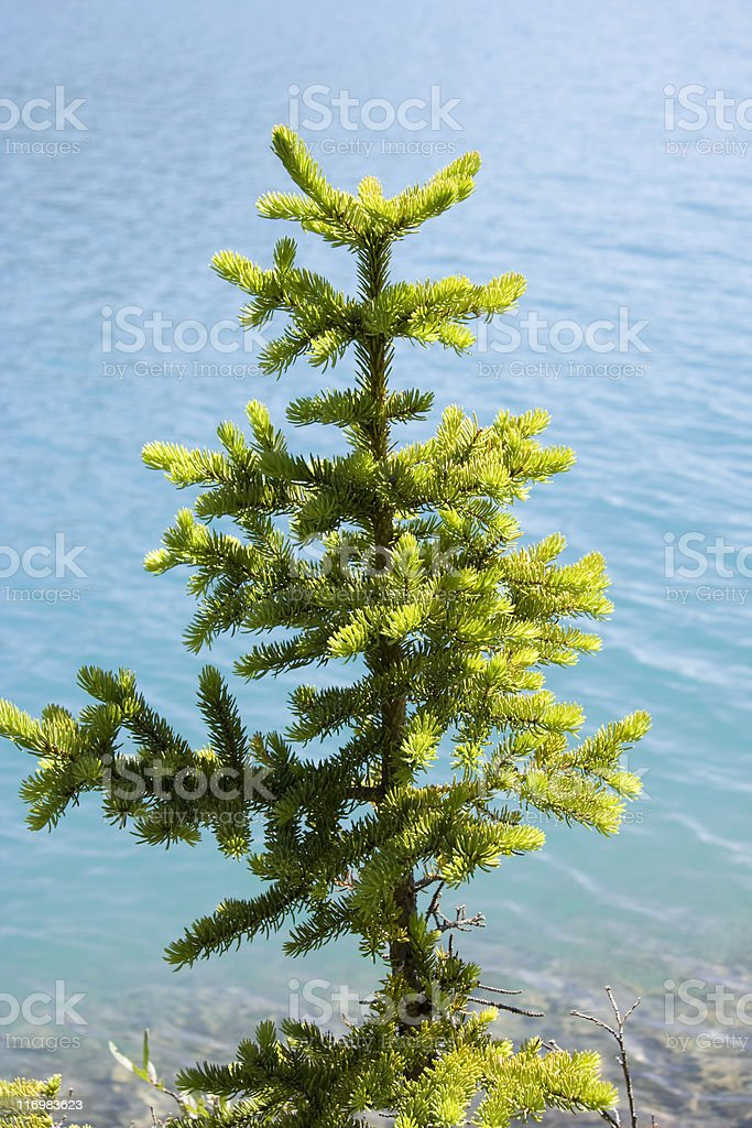 young fir tree on bow lake royalty-free stock photo