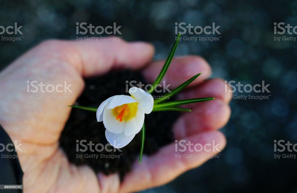 Young first spring flower in hand .Holiday Earth day concept stock photo