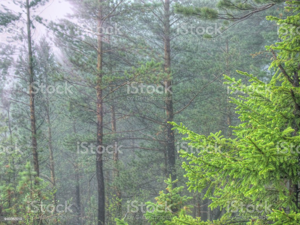 Young firtree in summer foggy morning pine forest stock photo