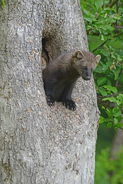 młody fisher stanowi w den drzewo. - rosomak zdjęcia i obrazy z banku zdjęć