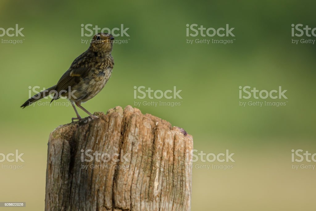 Young Fledgling Robin stock photo