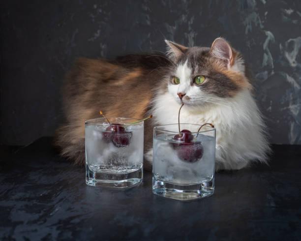 Young fluffy cat lies on a table near glasses with soft drinks picture id1256096601?b=1&k=6&m=1256096601&s=612x612&w=0&h=sj qzji5deu5nflwohstbtiogzk uphir1bpzlme1ee=