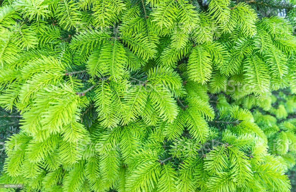 Young fluffy green spruce sprouts, branches of the fir-tree stock photo
