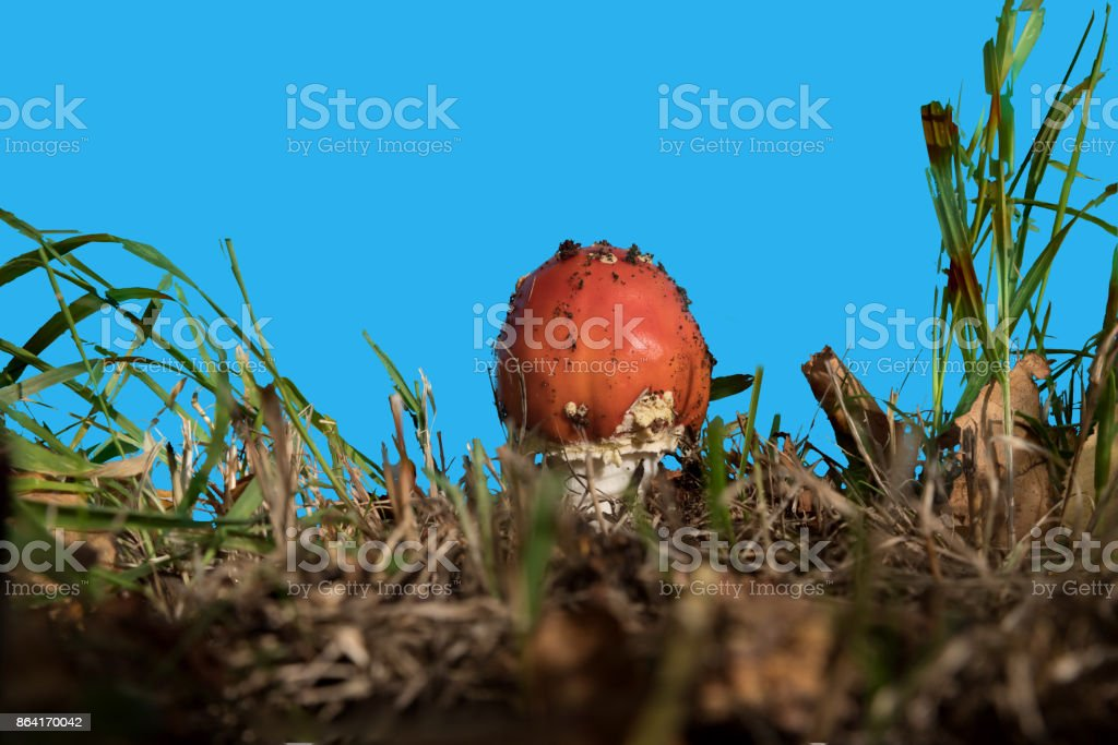 Young fly agaric against a blue screen royalty-free stock photo