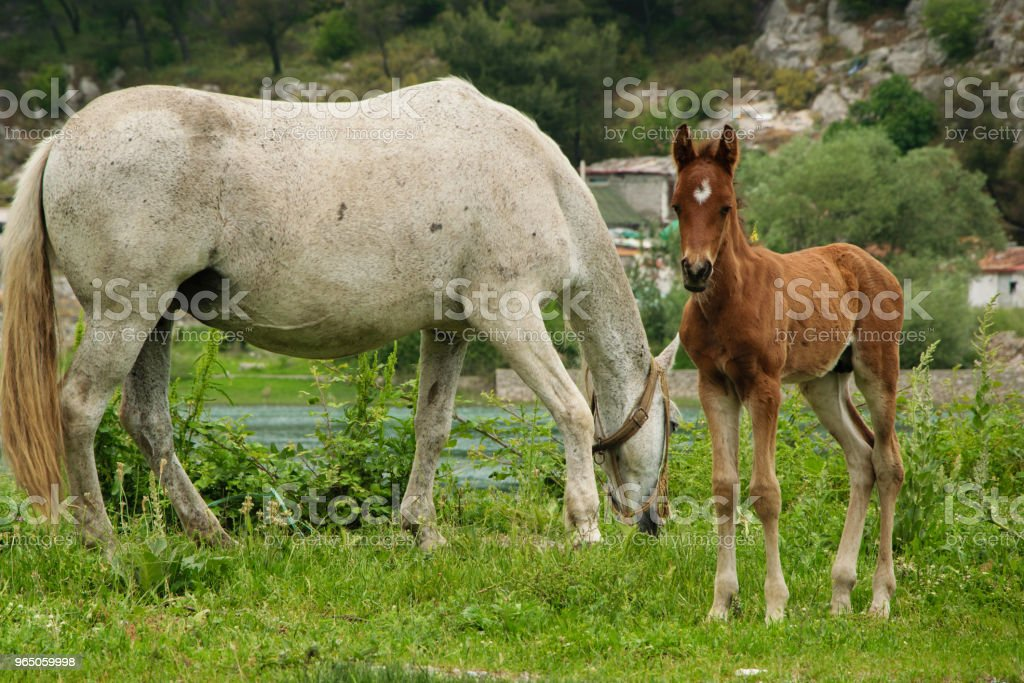 Young foal with his mom grazing free in the meadow zbiór zdjęć royalty-free