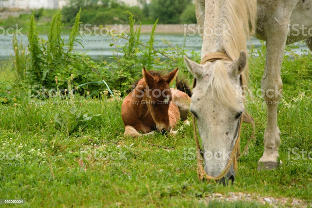 Young foal with his mom in the meadow zbiór zdjęć royalty-free