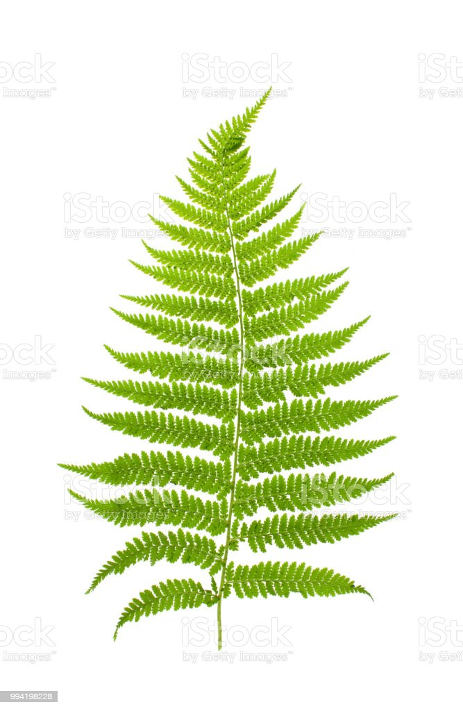 Young Forest Fern Leaf On White Background Stock Photo & More ...
