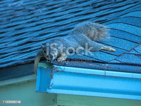 Young fox squirrel on a roof in Plano, Texas
