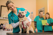 Young French Bulldog on the visit to the vet.