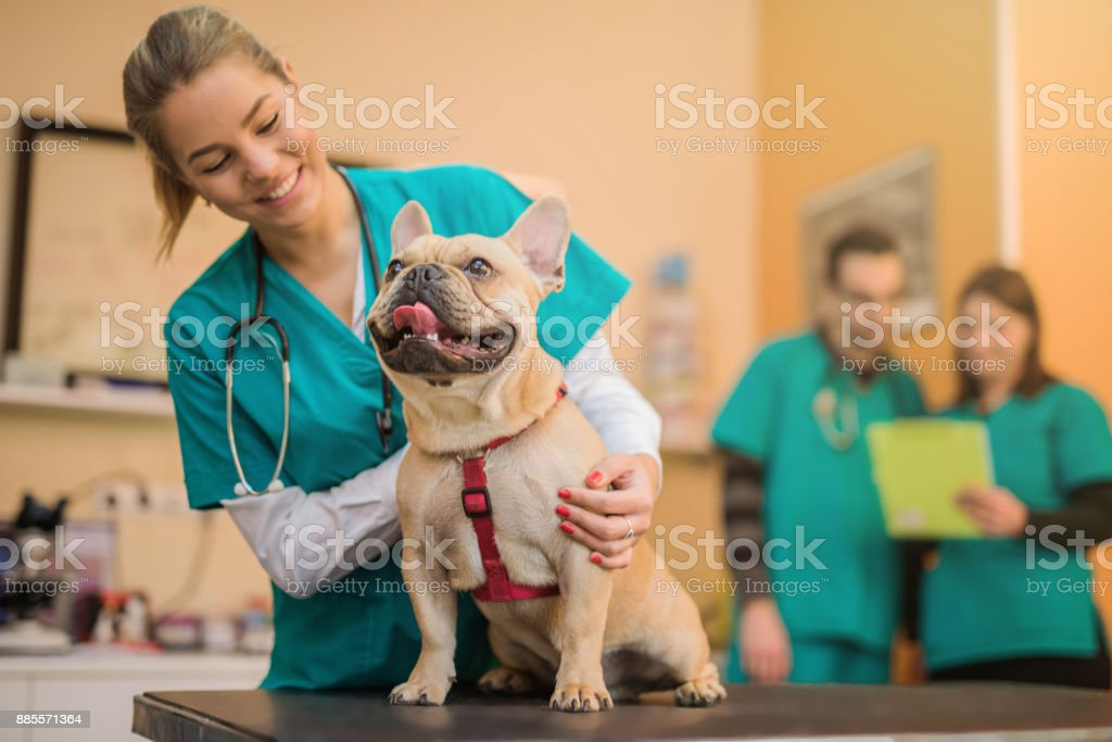 Young French Bulldog on the visit to the vet. stock photo