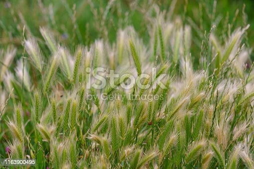 istock Young fresh green ears of wheat. 1163900495