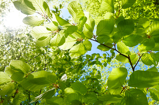Young fresh green leaves in springtime - Closeup of beech leaves