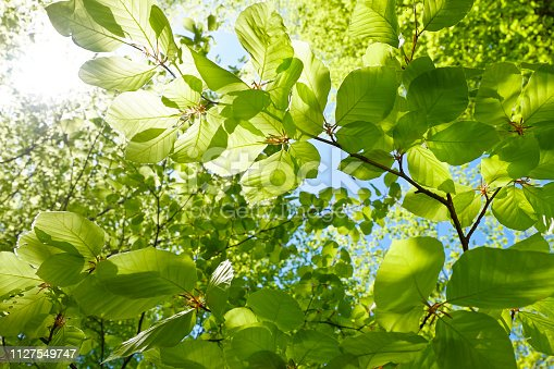 Young fresh green leaves in springtime - Closeup of beech leaves - Austria - Salzkammergut