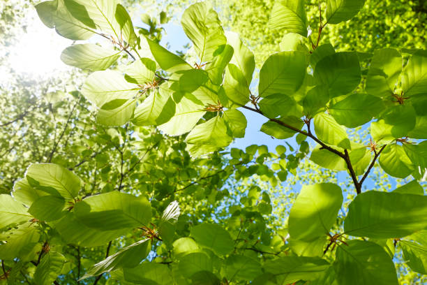 young fresh green leaves in springtime - closeup of beech leaves - lush foliage stock pictures, royalty-free photos & images